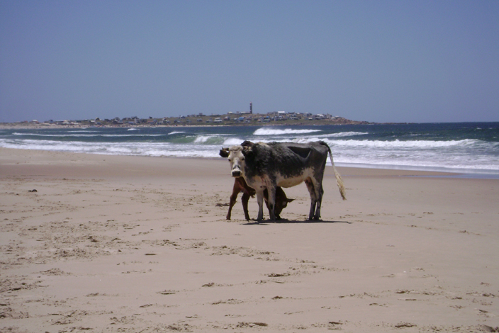 Cows in the beach
